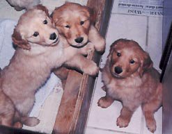 my golden retrievers 9 puppies!!! (cant see them all)