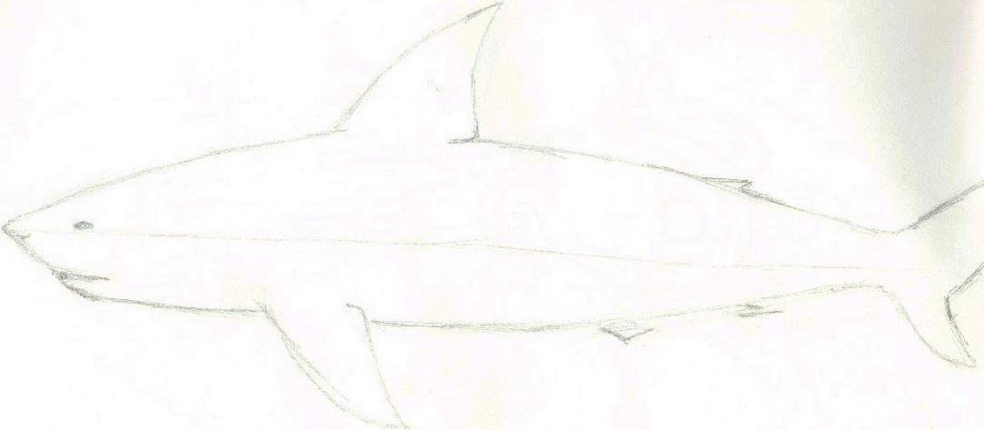 Old sketch of a shark... Not a specific species, but similar to a short-finned mako