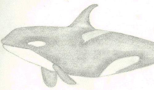 Old sketch of an orca