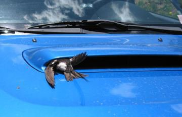 Bird in Intercooler, different angle.