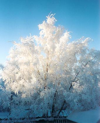 Snow covered tree in the sun