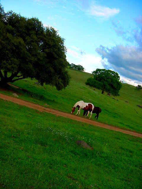 Horses in Green Pasture