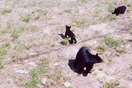 Bears below the chair lift