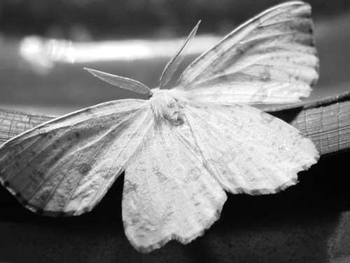 it's a moth