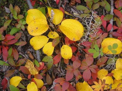Round-leaf willow