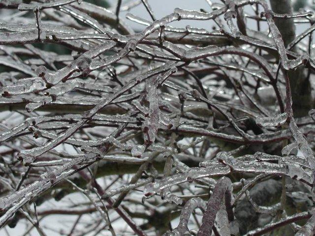 Icy Tree limbs
