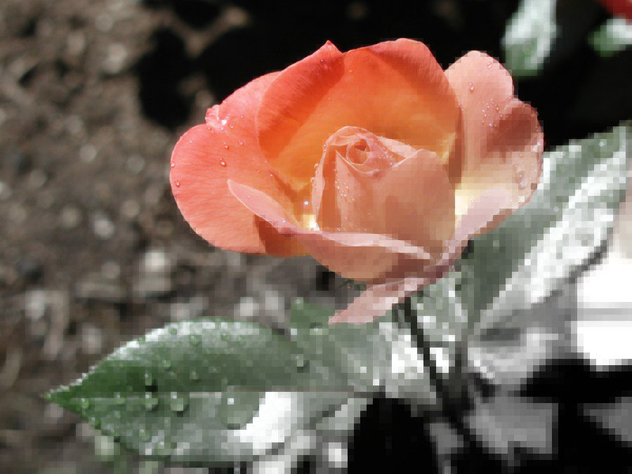 Pixellation fade thing on a Rose
