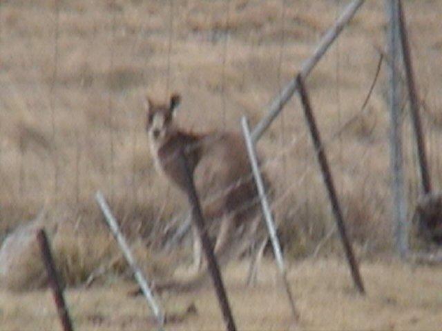 Kangarooski