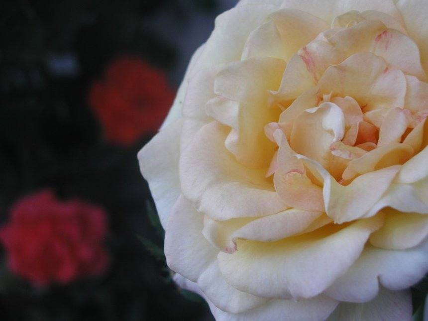 yellowish rose