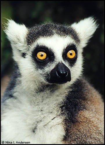 great looking lemur *HOT*
