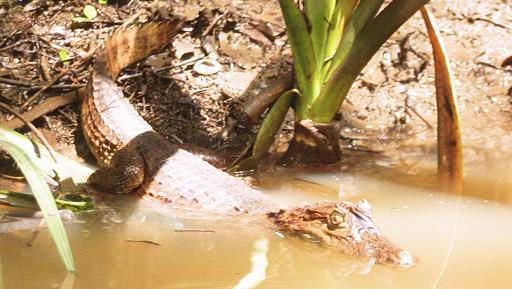 King Croc