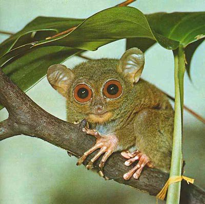 *HOT* tarsier in a tree ready for action