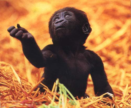 *HOT* baby gorilla fully nude