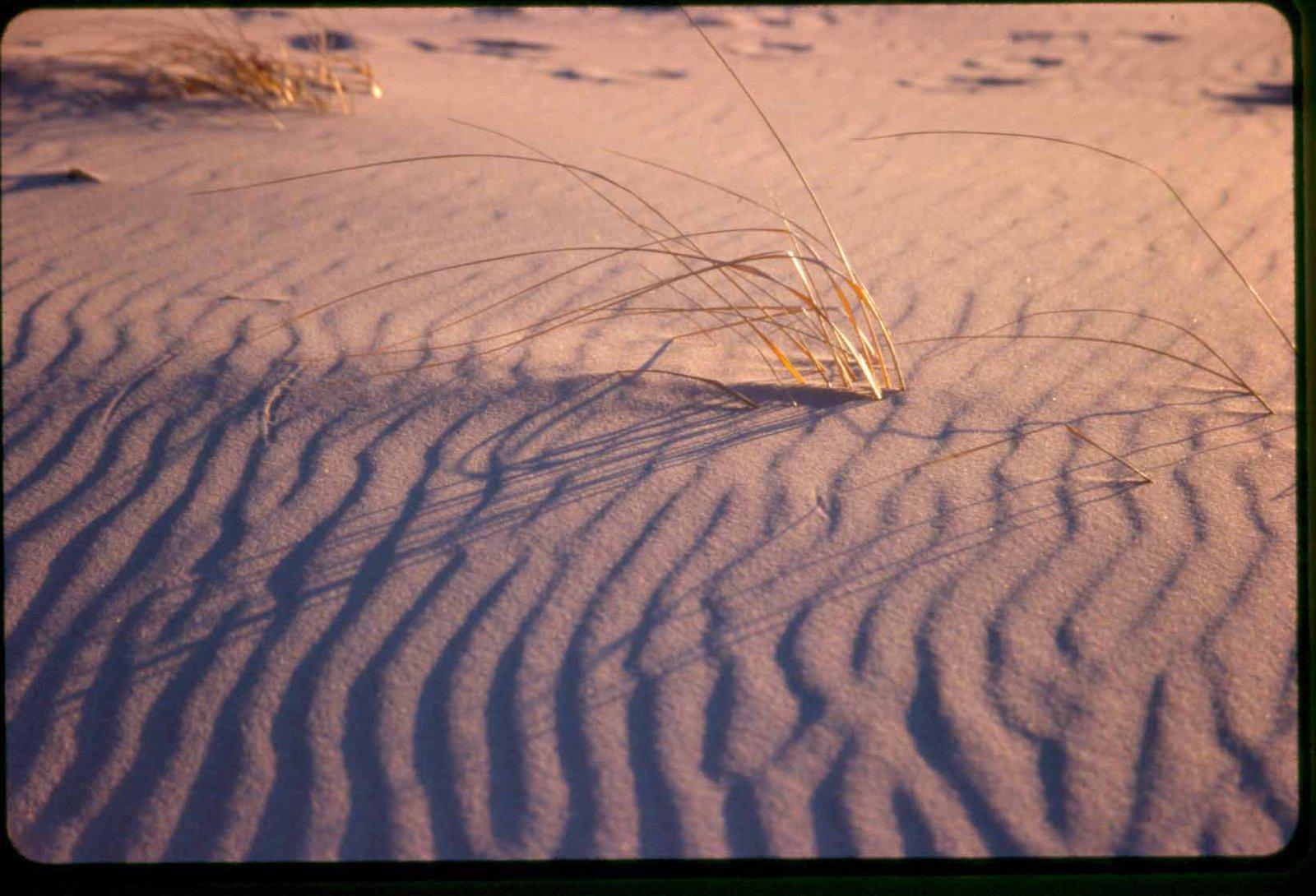 beachgrass in sunset