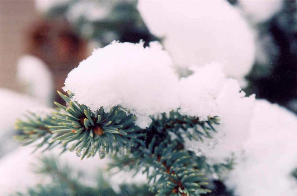 Picture: Snow on Pine needles