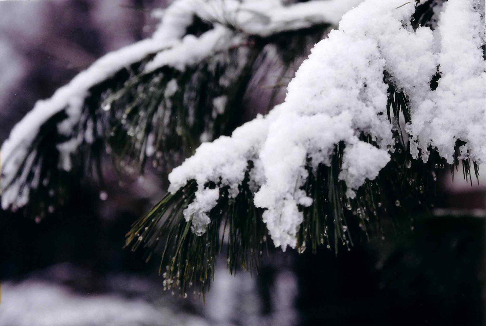 tree avec le snow thats white