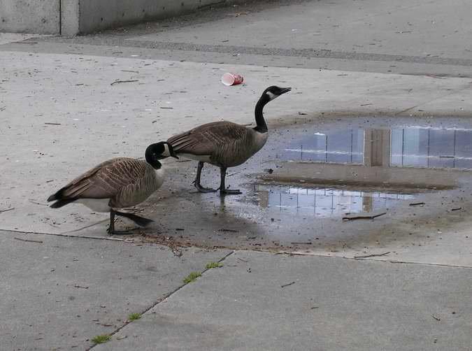 Urban Geese