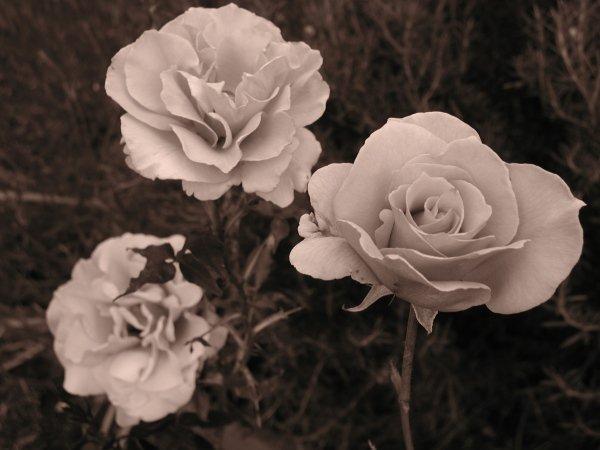 Sepia Rose