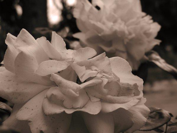 Sepia Roses II