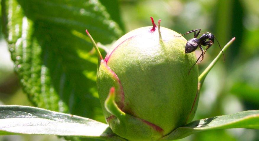 Ant on bud