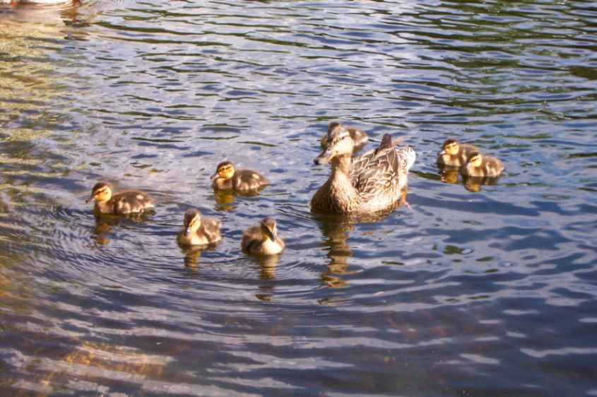 Mommy duck and her little babies