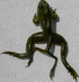 6 legged frog 2