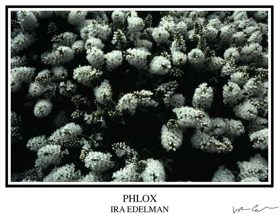 Phlox (?)