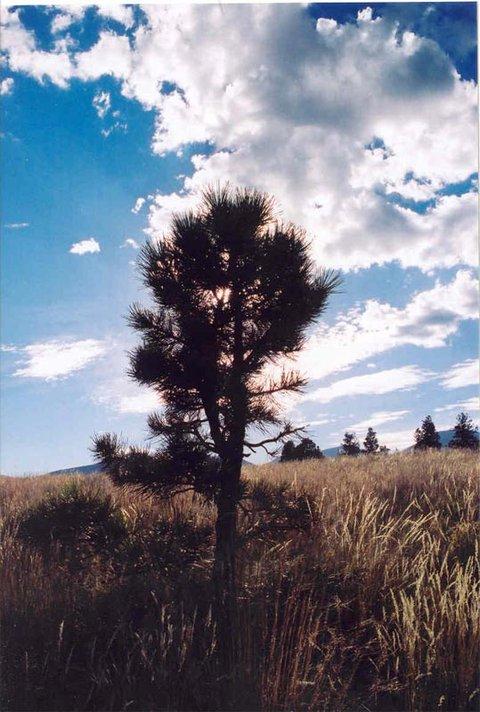 baby Pine Tree w/sun