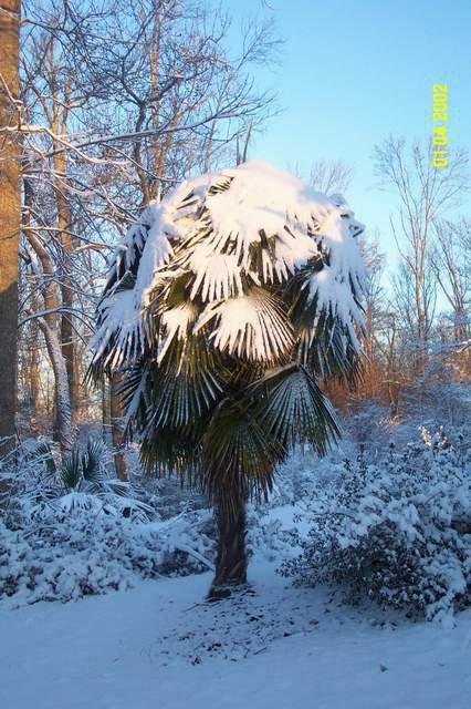 my neighbors palm tree
