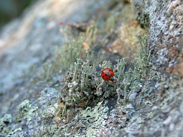 ladybug on some lyca