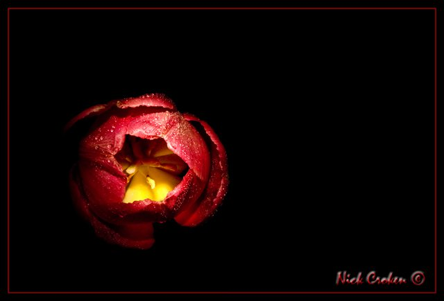 Tulip(light painting)