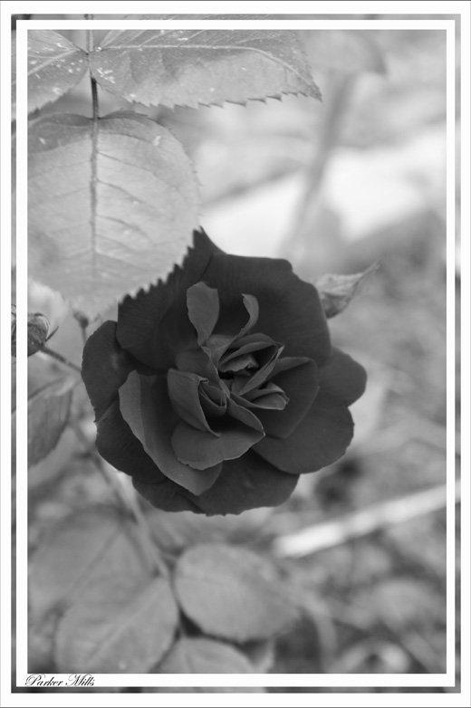 B&W rose