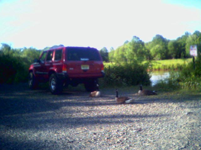 Geese by my car