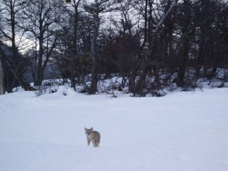 one fox crossing the track while i was skiing down: what the hell?!
