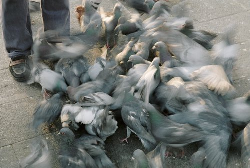 pigeons and a buzz