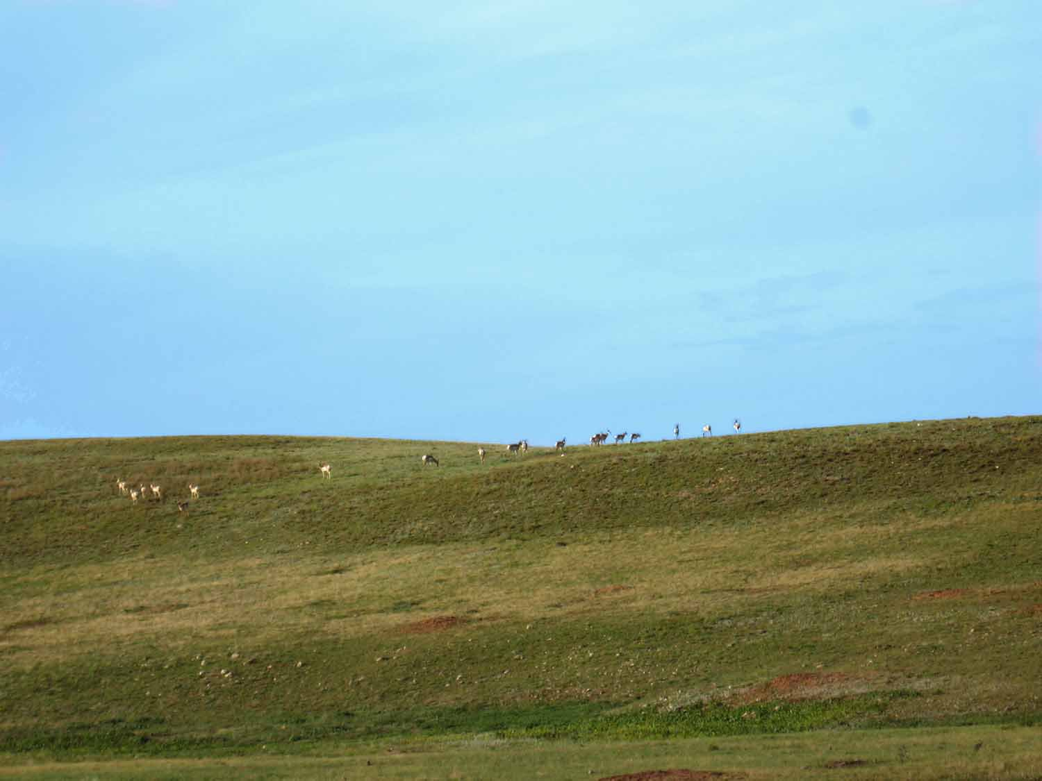 antelope on a hill