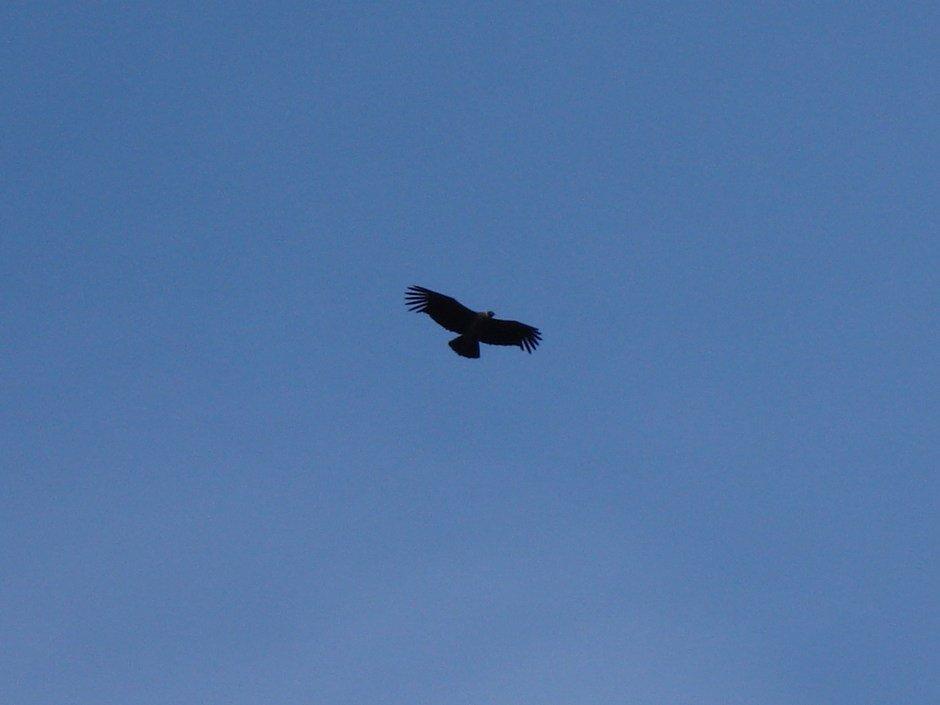 a great condor
