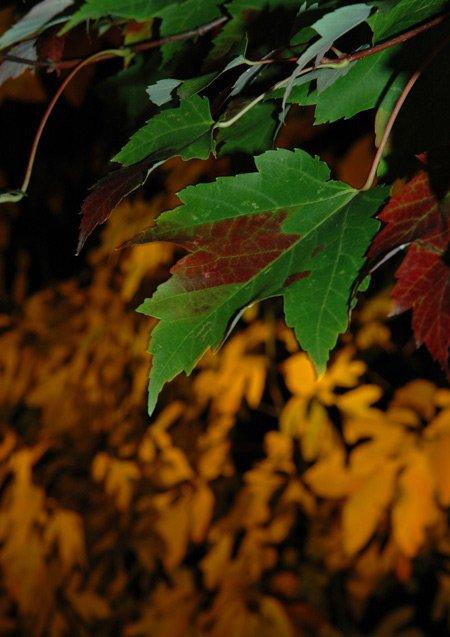 Autumn: Sassafras and Maple