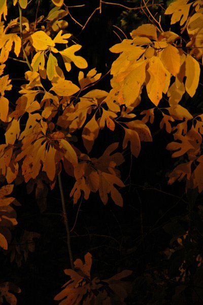Autumn: Yellow Sassafras