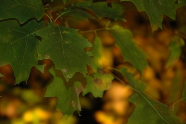 Autumn: Maple Backlit by Sassafras