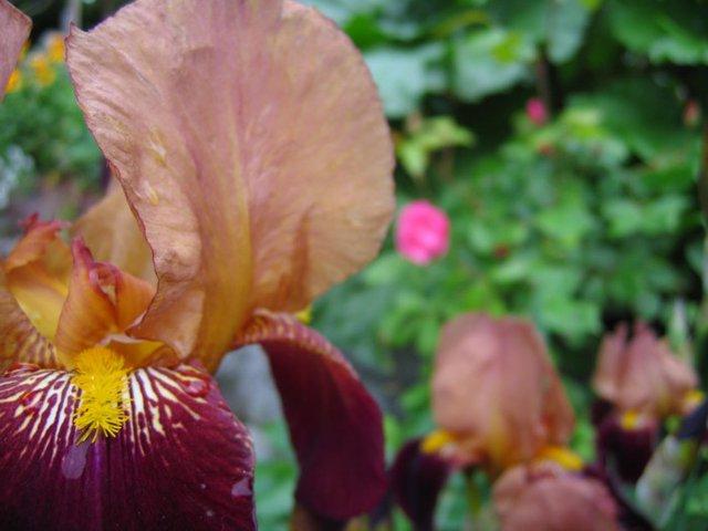 An Iris
