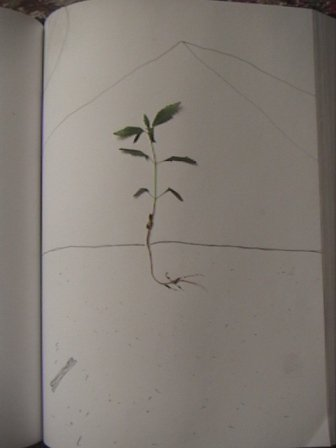 authentic plant/drawing