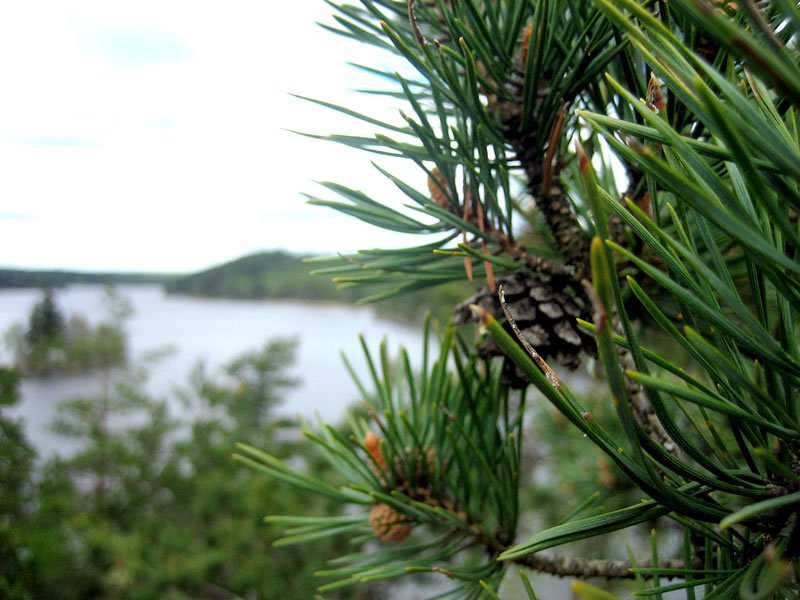 Pine Cone and Sweden