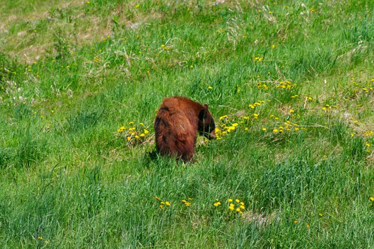 BEAR!! better quality