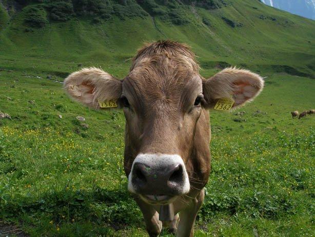 Bubba the Cow