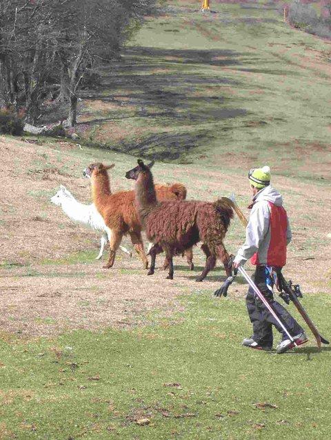 Llamas in the ski way