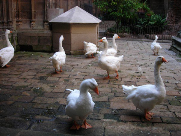 Fowl in barcelona