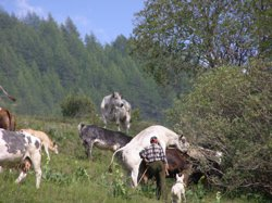 Cow llllove