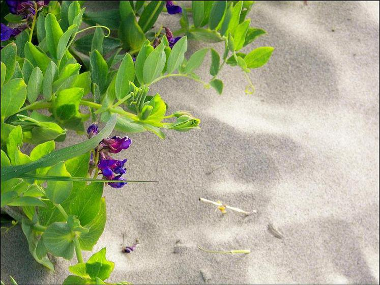 Flowers on the dunes.
