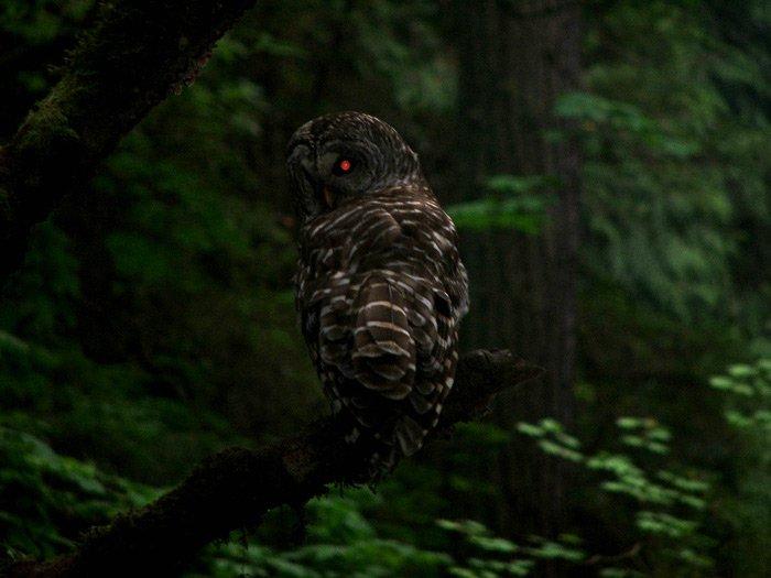 Fishing Owl